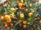 江西特产:蜜梨、蜜桔