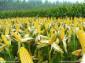 优质河南小麦和夏玉米和江西大米