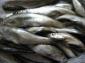 本土野生绝种小白鱼